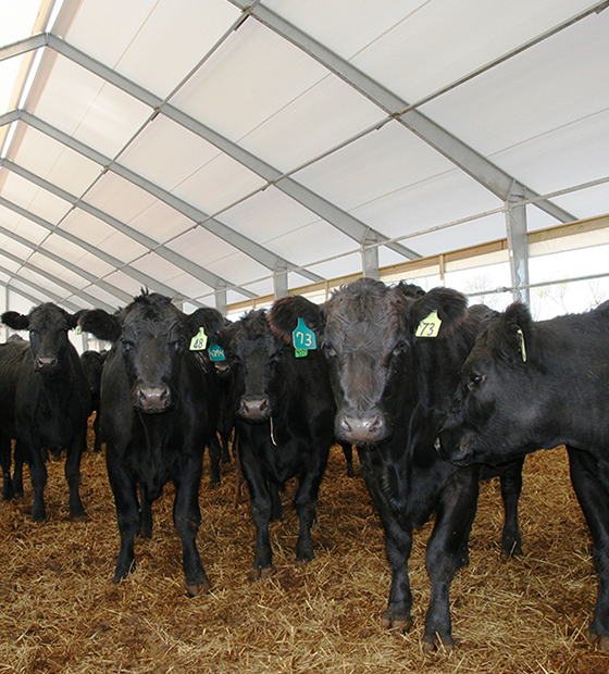 560x620 - Gall Cattle 3